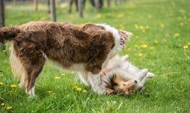 Deux beaux chiens de colley sont jou?s sur l'herbe verte photo libre de droits