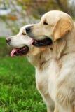 Deux beaux chiens de famille sont les chiens d'arrêt d'or dans le Na d'été Images stock