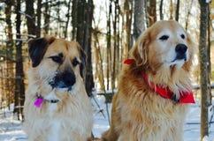 Deux beaux chiens sont les amis spéciaux Image stock