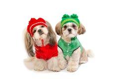 Deux beaux chiots de shih-tzu souriant dans des vêtements d'hiver Photos stock