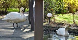 Deux beaux cygnes blancs s'approchent de l'étang Images stock