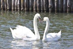 Deux beaux cygnes sur un lac Photographie stock libre de droits