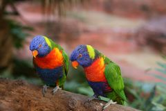 Deux beaux lorikeets photos stock