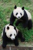 Deux beaux pandas Image libre de droits