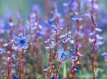 Deux beaux petits papillons d'Icare de golubyanka se reposent sur un pré de floraison sur les fleurs bleues douces un jour lumine images stock