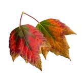 Deux belles feuilles d'automne changeant des couleurs Photos stock