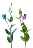 Deux belles fleurs bleues et violettes photographie stock libre de droits