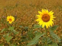 Deux belles fleurs d'un tournesol au début d'automne photo libre de droits
