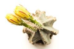 Deux belles fleurs jaunes sur un cactus fleurissant Fin vers le haut Photographie stock libre de droits
