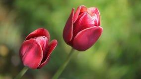 Deux belles fleurs rouge foncé banque de vidéos