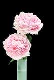 Deux belles pivoines roses dans un vase. Photographie stock
