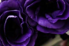 Deux belles roses magenta dans l'obscurité photographie stock libre de droits