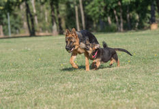 Deux berger allemand Running Through l'herbe photo libre de droits