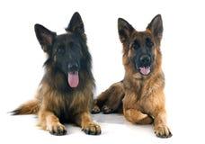 Deux bergers allemands Photo stock