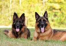 Deux bergers allemands sur l'herbe verte Image libre de droits