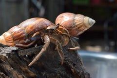 2 deux bernard l'ermite ont trouvé leur chemin de la maison à la coquille japonaise noire d'escargot photographie stock