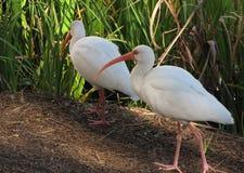 Deux blanc IBIS forageant dans l'herbe Photographie stock libre de droits