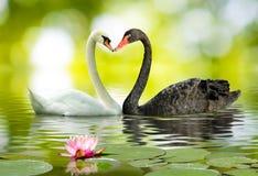 deux blancs et cygnes noirs sur le lac Photographie stock libre de droits