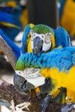 Deux bleus et aras jaunes se nettoyant Photo stock