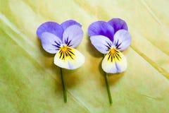 Deux bleus et pensées jaunes d'isolement sur le fond vert Image stock