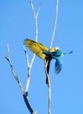 Deux bleus et perroquets jaunes d'arums Photo stock