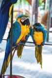 Deux bleus et perroquets jaunes se faisant face images libres de droits