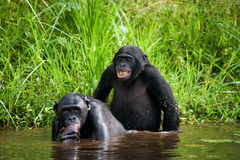 Deux bonobos font l'amour les uns avec les autres Le Republic Of The Congo Democratic Parc national de BONOBO de Lola Ya Photo libre de droits