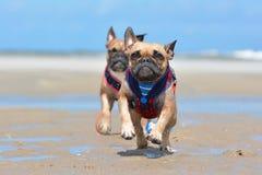 Deux bouledogues français de faon fonctionnant vers la caméra sur la plage utilisant le harnais maritime en vacances photo stock