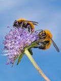Deux bourdons pollinisant la fleur sauvage de scabieuse Image stock