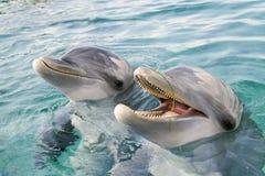 Deux bouteille-ont flairé des dauphins Photographie stock libre de droits