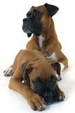 Deux boxeurs mignons Photo libre de droits