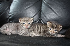 Deux brothes de chatons Photo stock