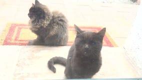 Deux bruns et petits chatons pelucheux en dehors de la porte en verre clips vidéos