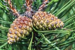 Deux cônes de pin Photographie stock libre de droits