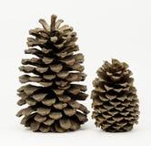 Deux cônes de pin Photos stock