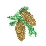 Deux cônes de pin avec le branchement illustration stock