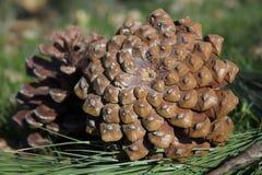 Deux cônes de pin se trouvant sur l'herbe Photographie stock