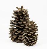 Deux cônes debout de pin Photo libre de droits