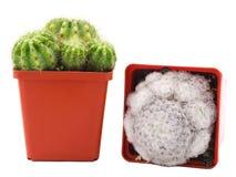 Deux cactus dans différents pots L'un d'entre eux fleurs et couvert de la mousse D'isolement Vue de côté et vue supérieure Photographie stock
