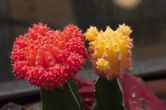 Deux cactus de lune créés du mihanowichii jaune et rouge de Gymnocalicium images stock