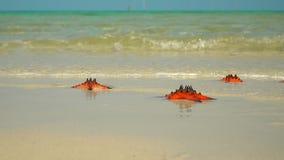 Deux cadres dans la vidéo Sable blanc tropical avec les étoiles de mer rouges dans l'eau claire Étoiles de mer sur l'île de quoc  clips vidéos