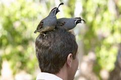 Deux cailles se reposant sur la tête d'un mâle dans le musée de désert d'Arizona-Sonora dans Tucson, AZ photo stock