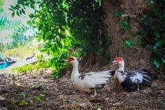 Deux canard Thaïlande Photographie stock