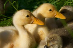 Deux canards Photo stock