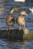 Deux canards Photographie stock