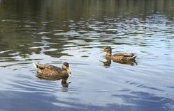Deux canards Photo libre de droits