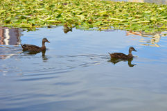 Deux canards dans l'étang Image stock