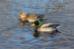 Deux canards dans l'eau Photo libre de droits