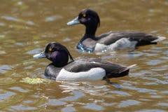Deux canards dans l'eau images stock