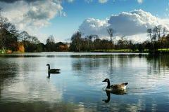 Deux canards dans le lac Photos stock